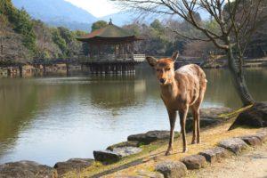 奈良浮御堂の鹿