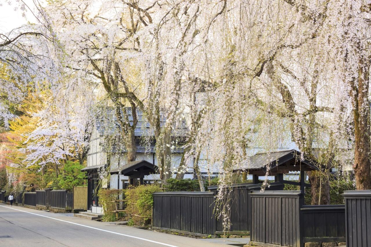 秋田角館の枝垂桜